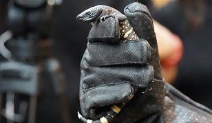 Zoo Wrocław. Na świat przyszły jadowite jaszczurki. Są zagrożone wyginięciem