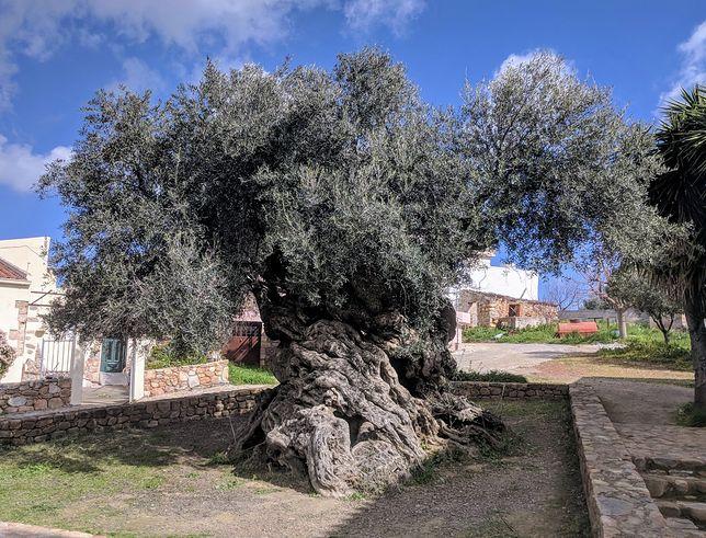 Drzewo, które przyciąga tysiące turystów. Jest jedyne w swoim rodzaju