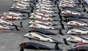 """Wyspy Owcze. """"Nagrania z masakry prawie 1500 delfinów mrożą krew w żyłach"""""""
