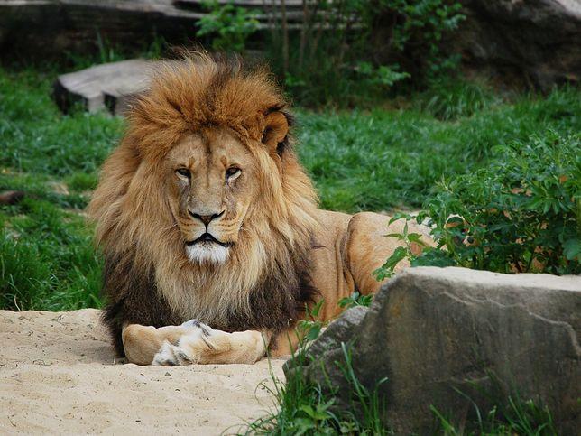 Przerażające wideo. Kobieta weszła na wybieg lwa w zoo w Bronksie