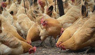 Skażone kurczaki w Nowym Dworze Mazowieckim. Dodano substancję zwalczającą wszy, kleszcze i roztocza