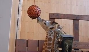 Żyrafek Gortat dostał niespodziewany prezent od ojca chrzestnego [WIDEO]