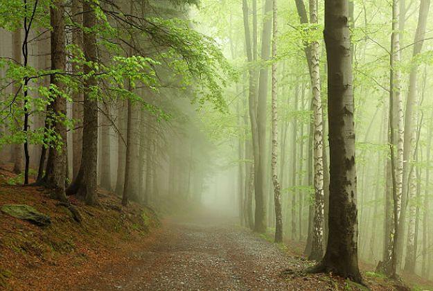 Awantura o Puszczę Karpacką. Leśnicy: te drzewa zasadzono po II wojnie światowej
