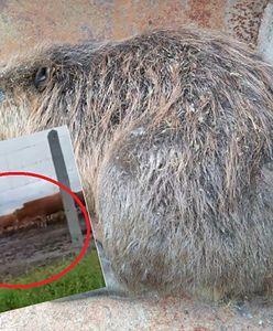 Agresywny bóbr z Ulhówek terroryzował krowy. Gryzoń został nagrany [WIDEO]