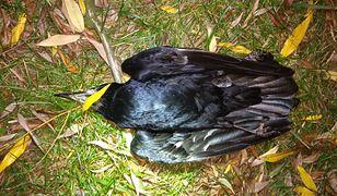 Plaga martwych ptaków w Warszawie