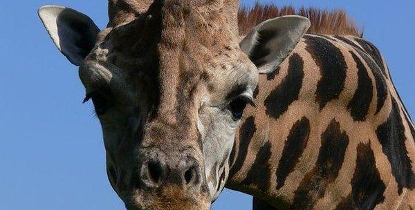 W ZOO zmarła żyrafa. Mieszkała w Warszawie 15 lat