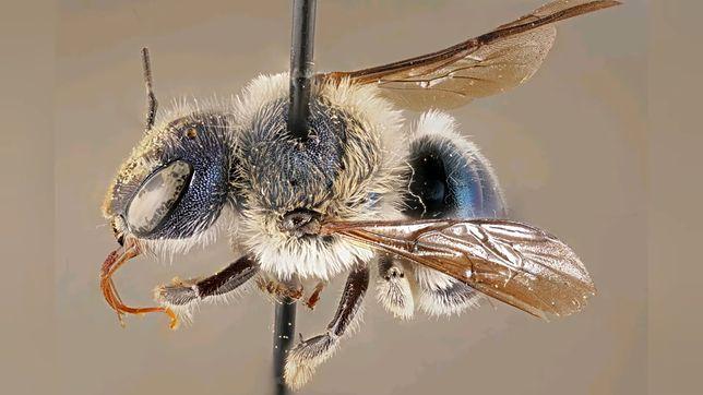Unikalna niebieska poszczoła. Zdjęcie wykonał Chase Kimmel z Muzeum Historii Naturalnej na Florydzie.