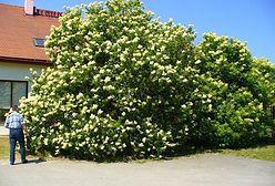 Ogród Botaniczny w Powsinie chwali się gigantycznym lilakiem