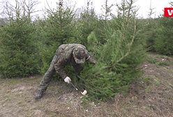 Choinka prosto z lasu. Leśnicy mówią, że telefony się urywają