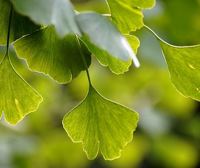 Miłorząb o właściwościach leczniczych. Piękne drzewo, które możesz uprawiać w ogrodzie