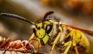 Osy i pszczoły nie zawsze są miłymi gośćmi. Jak się ich pozbyć nie robiąc im przy tym krzywdy?