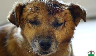 Roztrzaskał głowę psa siekierą. Potrzebne wsparcie na przeszczep dla Miśka