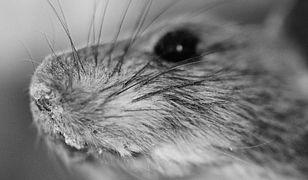 Myszy zniszczyły banknoty warte ponad 3,5 tys. zł