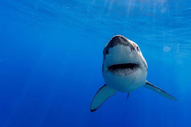 Żarłacz białopłetwy, zdjęcie poglądowe