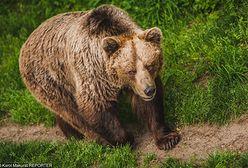 Niedźwiedź zaatakował kobietę. Zaledwie 15 km od słoweńskiej stolicy