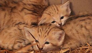 Pierwsze takie narodziny w gdańskim zoo! Nowe koty pustynne