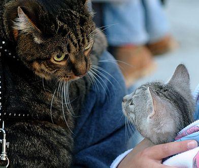 Koty na smyczy? Żądanie zmiany przepisów w UE