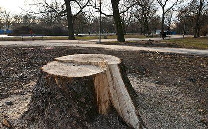 Nowe opłaty za wycinkę drzew. Wartość drzewa rosnącego na wsi będzie najmniejsza