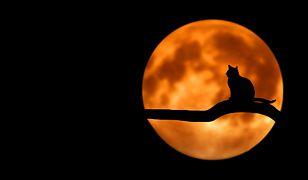 Tajemniczy kot-lis może być zupełnie nowym gatunkiem