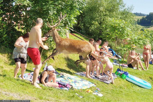 Jeleń wbiegł prosto w plażowiczów