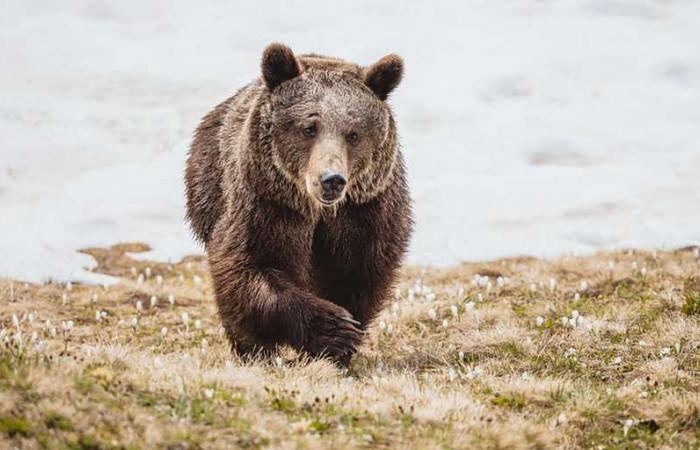 Wybudziła się ze snu zimowego. Po latach w cyrku niedźwiedzica cieszy się wolnością w Alpach