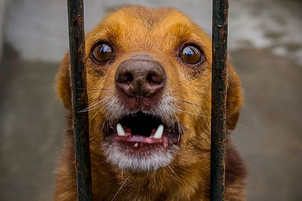 Psi smalec. Przeraźliwy skowyt zarzynanych psów
