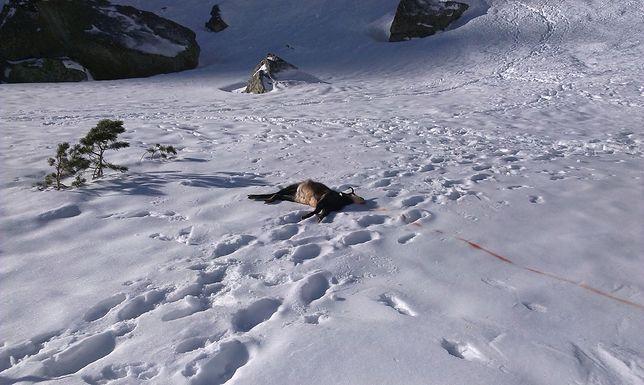 Niebezpieczne Tatry. Z powodu oblodzenia giną także zwierzęta