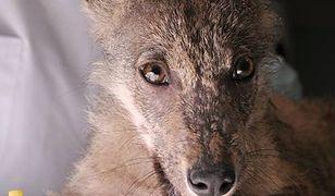 Ludzie uratowali małego wilka. Teraz trwa walka o jego życie