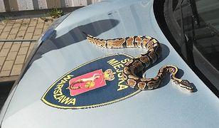 Na Ursynowie znaleziono pytona. Wąż ukrywał się pod samochodem