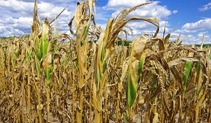 Zdaniem rolników problem suszy jest znacznie większy niż przyznaje IUNG