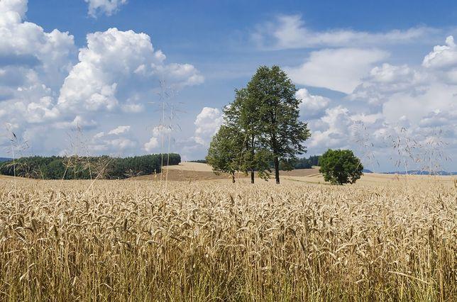 Koegzystencja upraw GMO i tradycyjnych jest praktycznie niemożliwa