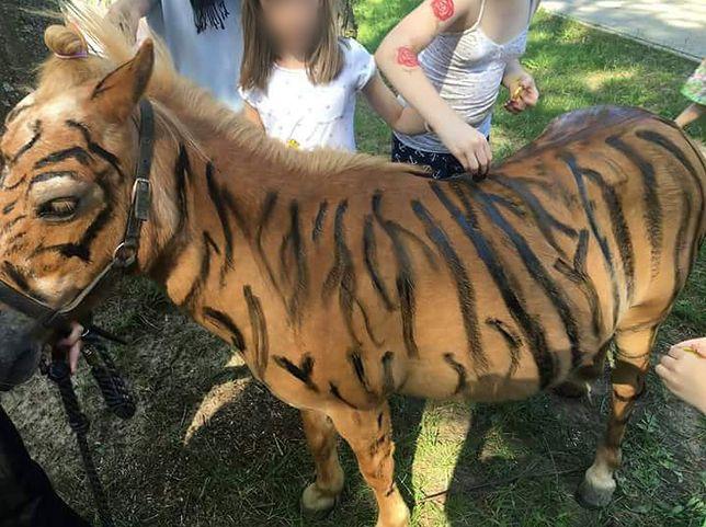 Kucyki przebierane za zebry. Kontrowersyjna atrakcja dla dzieci wywołała oburzenie