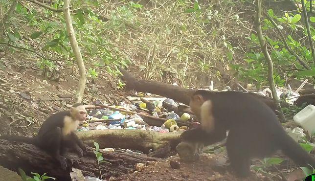 Poprzez obserwację, młodsze małpy uczą się, jak łatwo zdobyć pożywienie