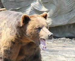 Koszmar w zoo. Niedźwiedzie zagryzły człowieka na oczach turystów
