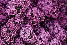 Właściwości lecznicze kwiatów bzu