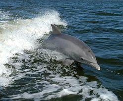 17 martwych delfinów wyrzuconych na brzeg po wycieku ropy na Mauritiusie