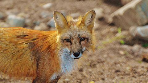 Firefox dostanie nowe logo, ale płomienne futro nie uratuje lisa