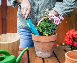 Ta roślina ma magiczne właściwości. Powinna rosnąć na każdym parapecie