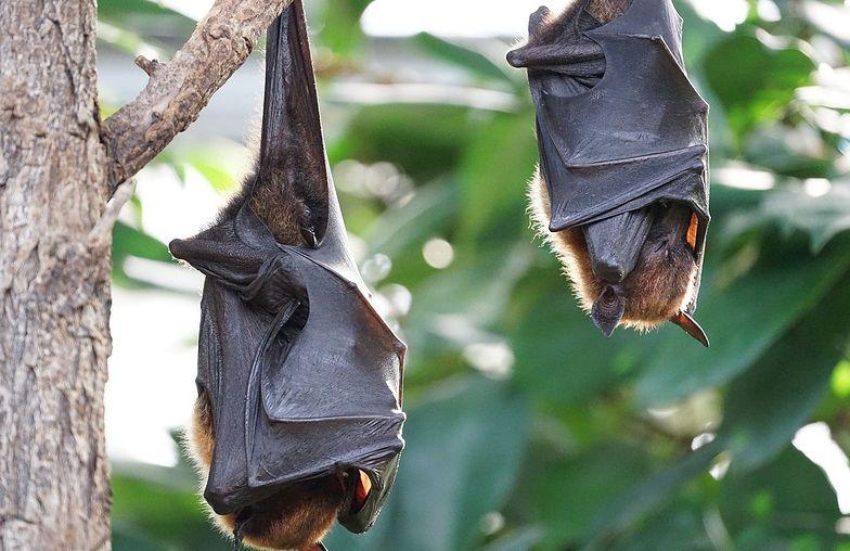 Odkryto cztery nowe gatunki nietoperzy. Są powiązane z gatunkiem odpowiedzialnym za koronawirusa