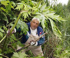 Sprowadzenie tej rośliny do Polski było błędem. Jest groźna i bez dotykania
