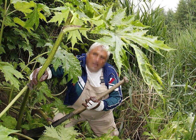 Roślina ma różne nazwy: Barszcz Mantegazziego, barszcz kaukaski, barszcz mantegazyjski