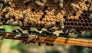 Pszczoły mogą wyginąć szybciej, niż nam się wydaje. Paweł Kukiz już stracił pszczelą rodzinę