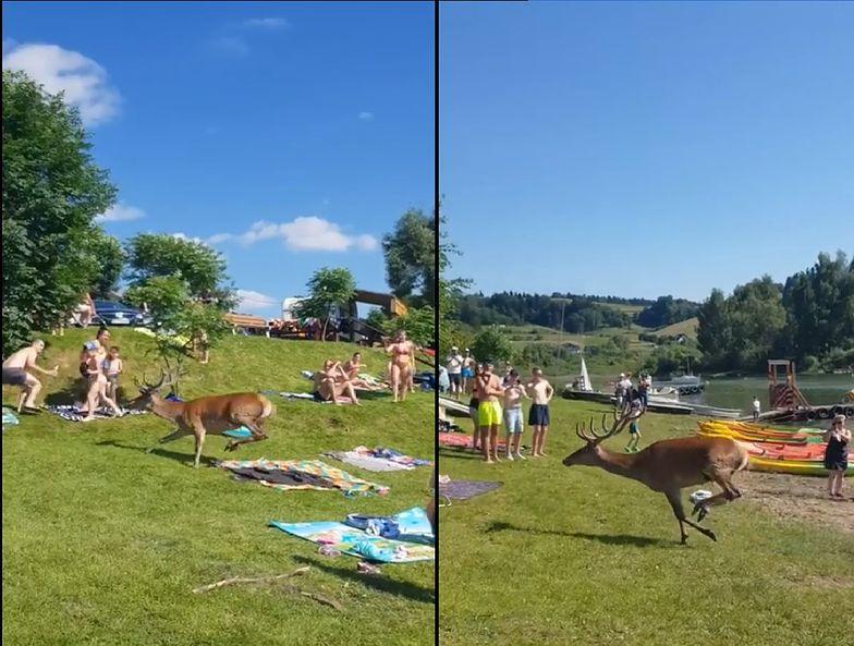 Ludzie w Bieszczadach byli w szoku. Ranny jeleń wpadł na plażę pełną turystów