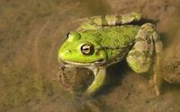 Trujące żaby robią więcej hałasu