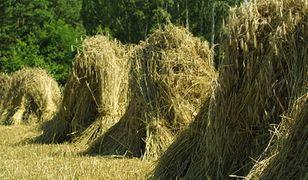 Producenci: brak wiarygodnych danych o powierzchni upraw zbóż i rzepaku