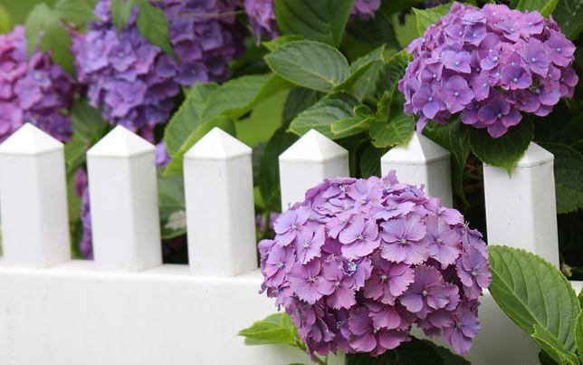 Hortensja - jak uprawiać ten piękny kwiat?