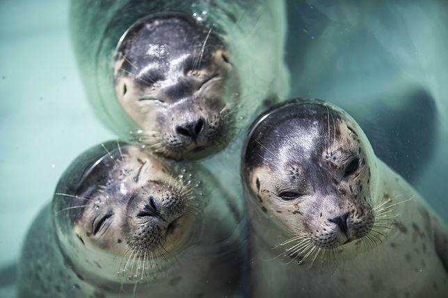 Rybacy chcą zabijać foki