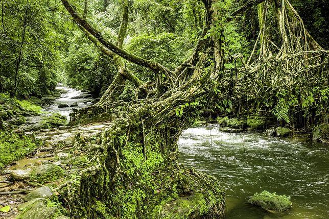 Atrakcje Indii - mosty-drzewa