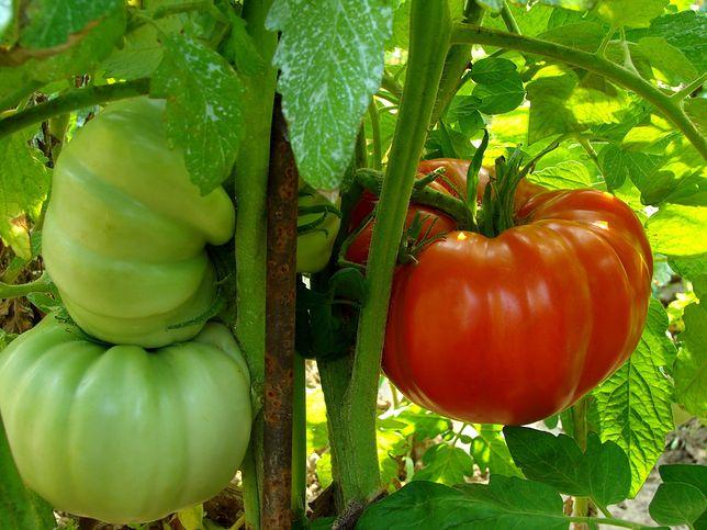 pomidor olbrzym