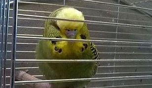 Nietypowy gość na Targowej. Papuga odwiedziła restaurację